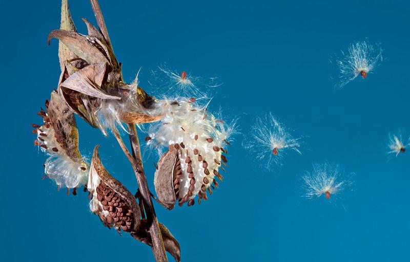 Milkweed Seed Dispersal