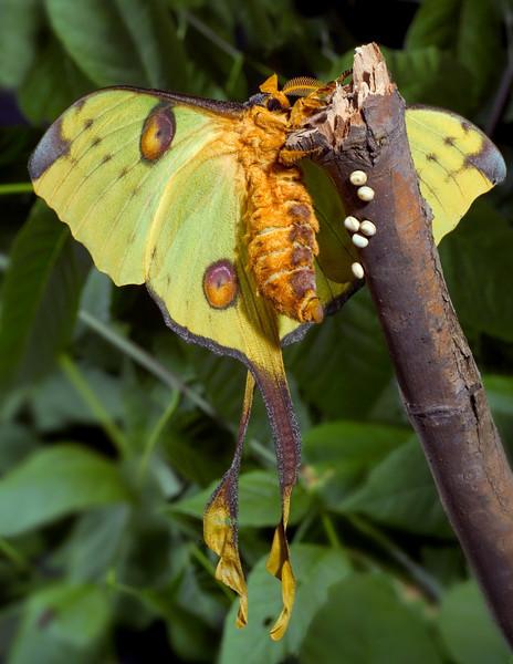 Silk Moth Laying Eggs, Comet Moth, Argema mittrei, Argentina