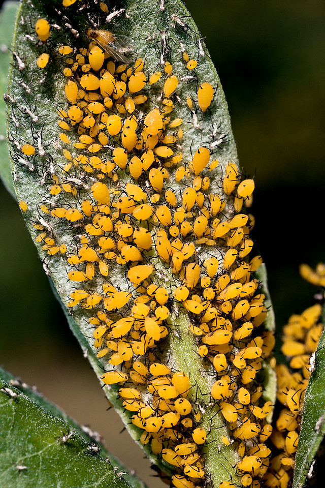 Yellow Aphids on Milkweed Leaf - Aphis nerii