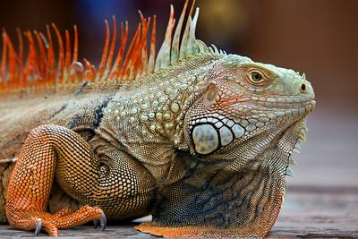Iguana Portrait, Florida