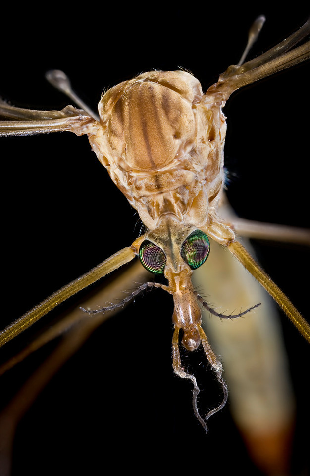 Crane Fly Face Up Close
