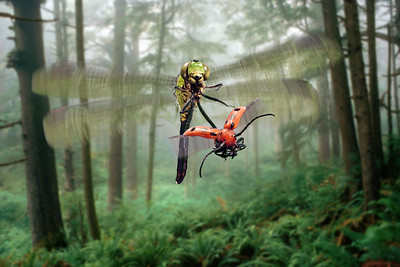 Green Clearwing Dragonfly (Erythemis simpliciollis) Chasing a Red Milkweed Beetle (Tetraopes tetraophthalmus)