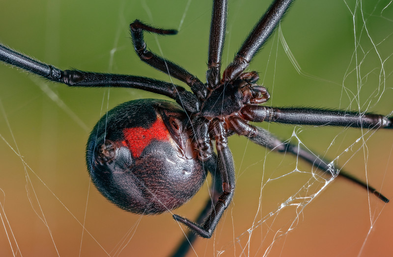 Female Black Widow Spider