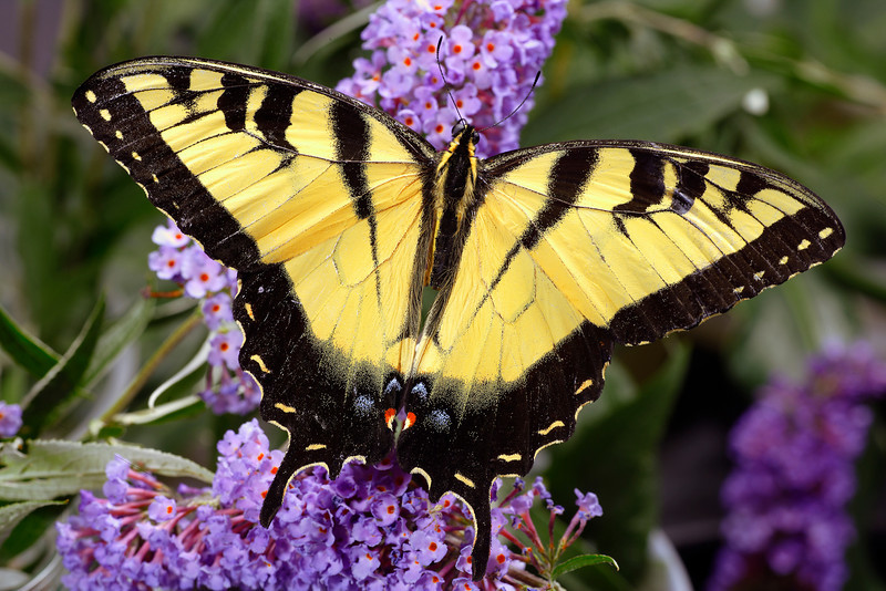 Tiger Swallowtail Butterfly, Papilio glaucus