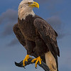 2018 3rd Digital - Animals9 0 - 25 - MDiRenzo - Majestic Eagle 6624 w54