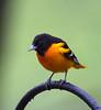 Cardinal-9686