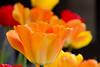 tulip-8420