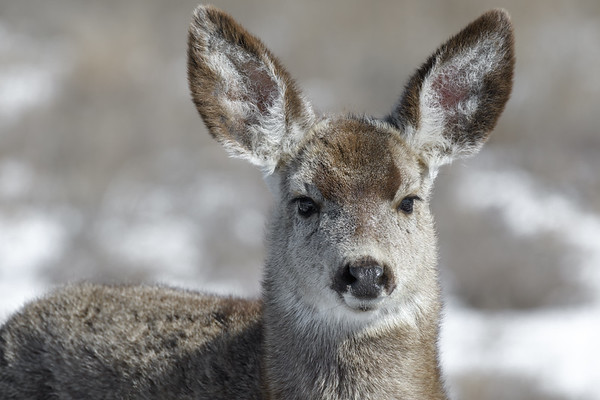 Young female mule deer in winter