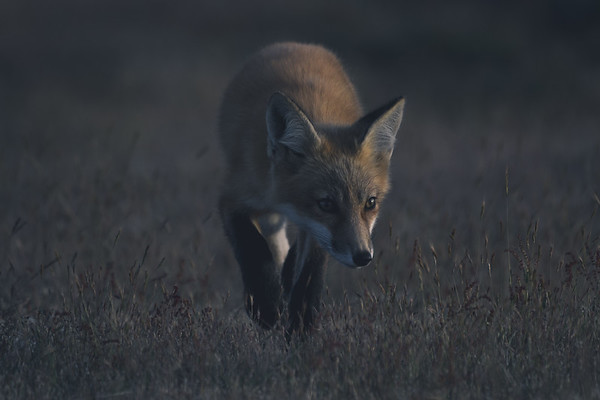 Curious Red Fox at Dusk