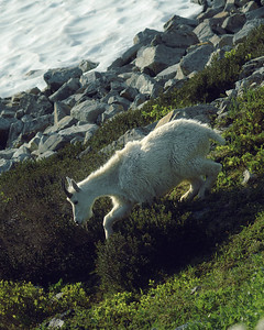 North Cascades Mountain Goat