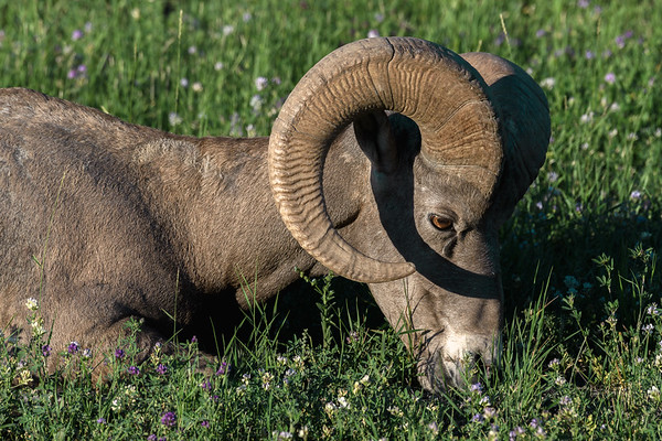 Bighorn sheep grazes at sunset in Canada