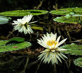 My favorite water lily shot.