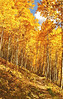 """06-01 Aspen Walk~ Northern New Mexico.<br /> <br /> In the latter part of September, the aspen forests of the Sangre de Cristo Mountains take on their fall colors. Golds and reds begin high up, gradually moving to lower elevations. This image was made during a hike in those mountains. Unlike the quaking aspens of California's Sierra Nevada, these aspens are very tall. Walking beneath them is like passing through a raging fire, without the heat. The biggest problem, for a photographer is, """"How can I capture it all."""" I am particularly fond of this image because it reminds me of paintings I would look at as a child, which depicted scenes I could imagine walking right into."""