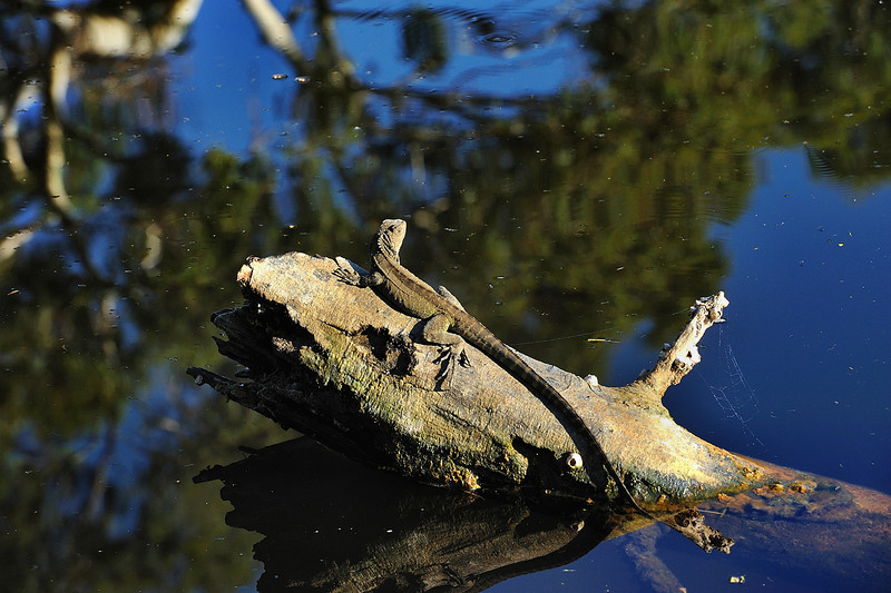 Gippsland Water Dragon, Photo Harry van der Zon  03 9769 2631