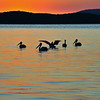Bemm River sunrise, Pelicans on the Lake, Photo Harry van der Zon <br /> 03 9769 2631