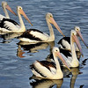 Pelicans Bemm River, Photo - Harry van der Zon, 03 9769 2631