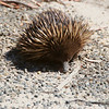 Short-Beaked Echidna, Tachyglossus aculeatus, They are now on the move, careful on the road ..very slow movers