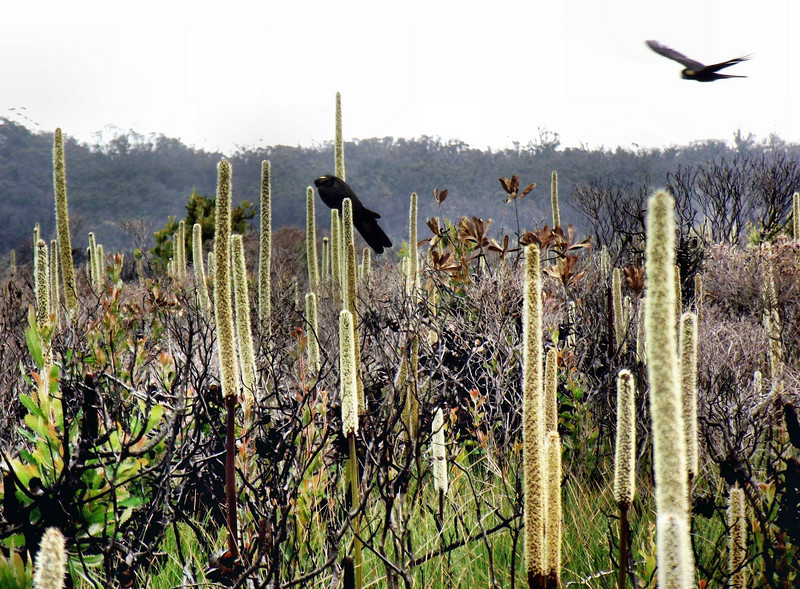 Yellow tailed cockatoo's and grass tree's at Seal Creek, Photo Phillipa Hamilton