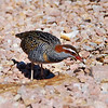Buff-banded Rail,  Bemm River swamp area