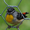 Male spotted Pardalote  Bemm River