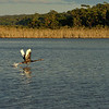 Bemm River, Swan in flight, Photo Harry van der Zon <br /> 03 9769 2631