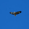 Sea Eagle, Bemm River