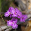 The Fringe-Lily - Thysanotus multiflorus