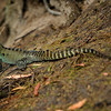 Bemm River, Gippsland Water Dragon, Photo Harry van der Zon <br /> 03 9769 2631