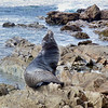 Seal, Bastion Point, Mallacoota, photo Cathy Pirrie