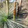 Grass tree, triple, Great Alpine Road photo AN