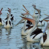 Bemm River Pelicans, Photo Harry van der Zon <br /> 03 9769 2631