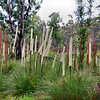 Grass Tree. (Xanthorrhoea resinosa) with Banksia integrifolia, commonly known as Coast Banksia