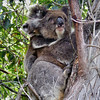 Koala and baby, Narrows at Mallacoota, Photo, Phillipa Hamilton