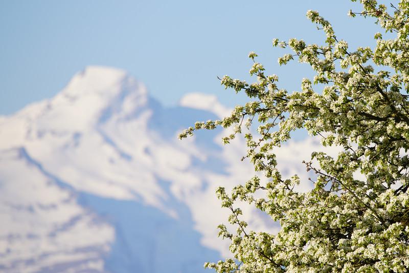 Mostbirnen mit Schweizer Bergen
