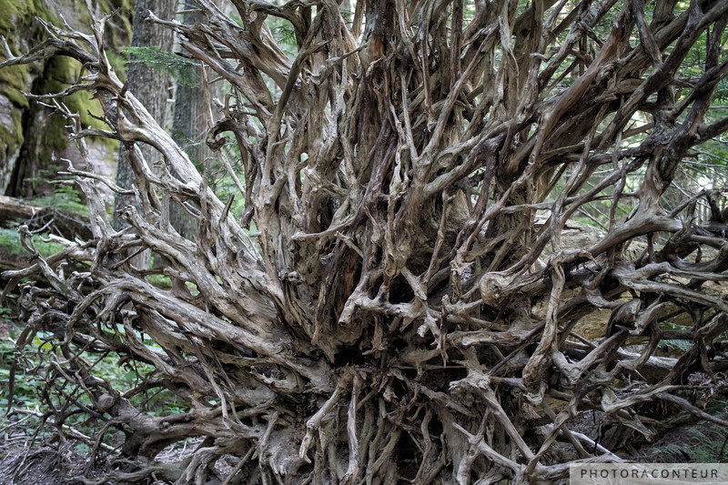 Roots of the Cedar