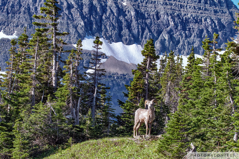 Logan Pass Bighorn