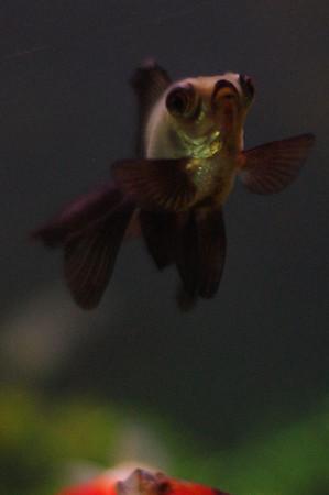 Gold Fish Pics May 2011