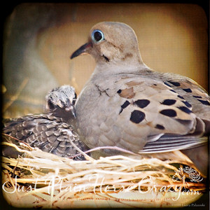 Mom and Baby Mourning Doves. Baby seen here is also the same dove from the one with the Pink Background.
