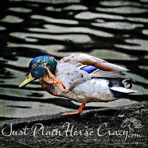 Mallard Duck - Golden Gate Park