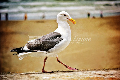 Seagull - Golden Gate Park