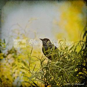 Blackbird shot at Whispering Hills Ranch, Milpitas.