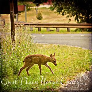 Day old Mule deer shot at Point Reyes