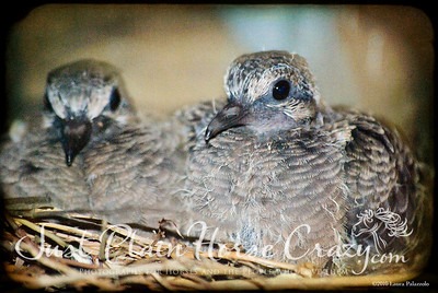 Mourning Dove babies, approx 3 weeks old from the time the eggs were laid. Cupertino