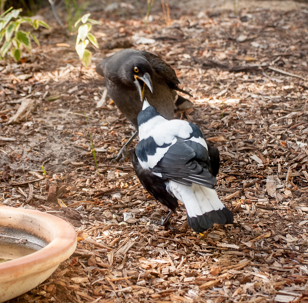 Juvenile currawong and magpie, February 2017