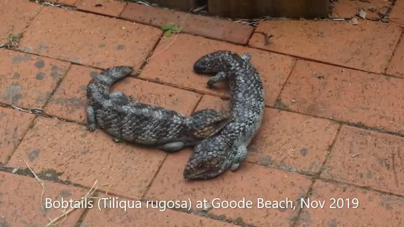 Bobtail skinks (Tiliqua rugosa) courting outside the back door (Video)