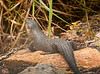 King's skink imitating otter!