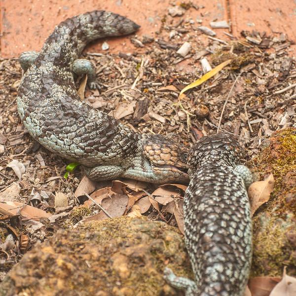 Bobtails (Tiliqua rugosa) courting outside the back door