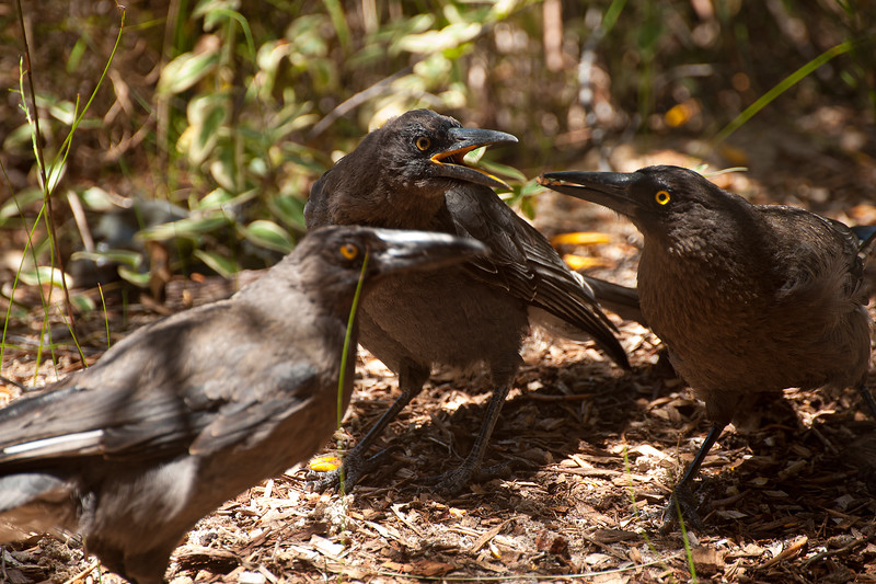 Currawong family