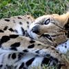 Sleepy Serval