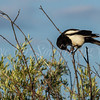 Black-billed Magpie
